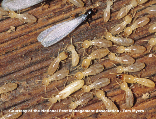 How Do Termites Infest Your Home?