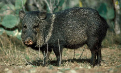 Tucson Javelina prevention