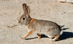Tucson rabit prevention