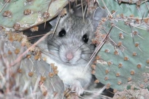Tucson Pack Rat Removal